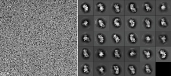 Cryo-electron microscope image of CRISPR molecules.